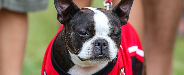 Small Black and White Dog in Team Canada Jersey