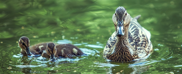 Mother duck and 2 ducklings floating in water