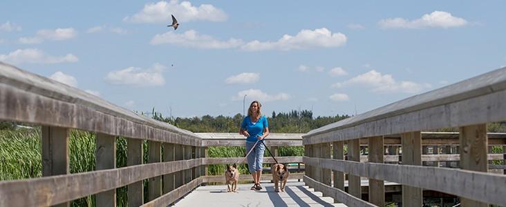 Woman walking dogs on boardwalk over wetland