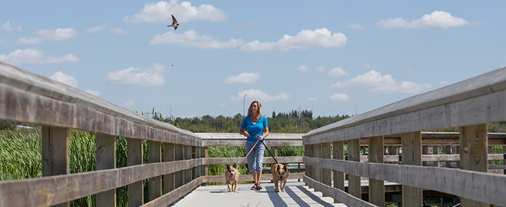 Woman walking dogs on boardwalk over wetland