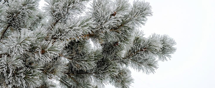 Christmas tree in the winter.
