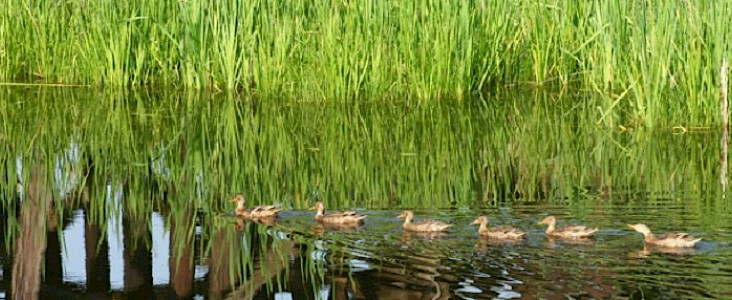 Photo of six ducks on the river