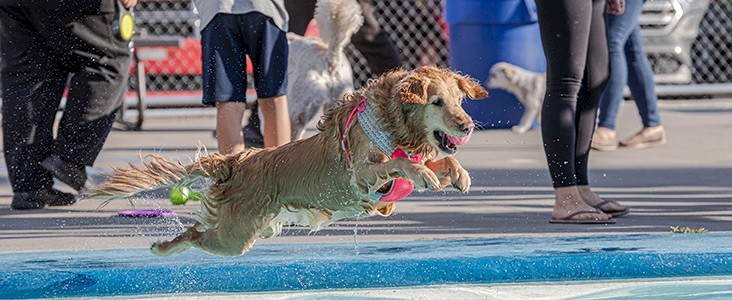 Dog jumping into pool.